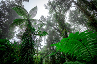 Tree Fern in Cloud Forest